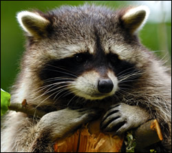 raccoon removal League City