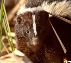 skunk removal League City